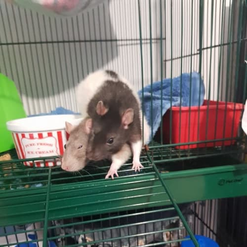 Pudding & Pie -  Rodent