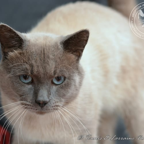 Teak - Domestic Medium Hair x Tonkinese Cat