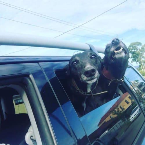 Aleks & Diamond (Bonded Pair) - Greyhound Dog