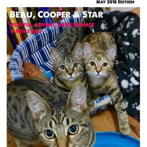The 3 Amigo's - The Friendliest Kitties in Town - Domestic Short Hair Cat