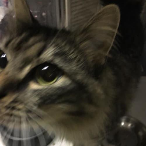 Shiloh - Domestic Medium Hair Cat