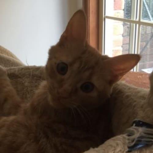 Bowie - Domestic Short Hair Cat