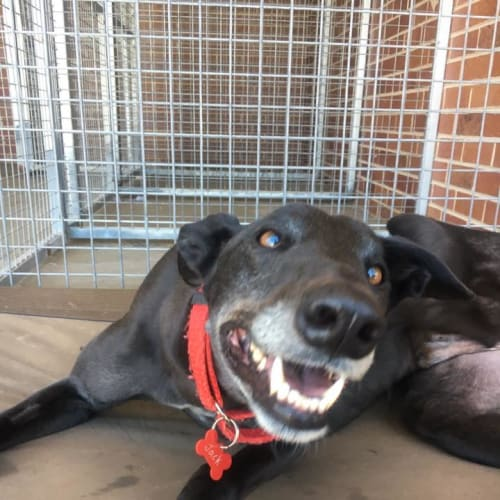 Jack (In Foster 13 May) - Greyhound Dog
