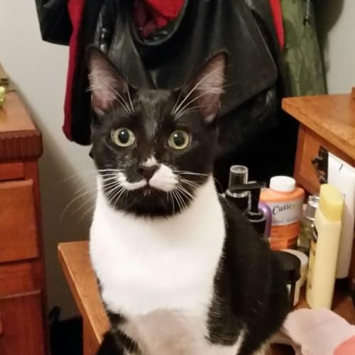 Viva - Domestic Medium Hair Cat