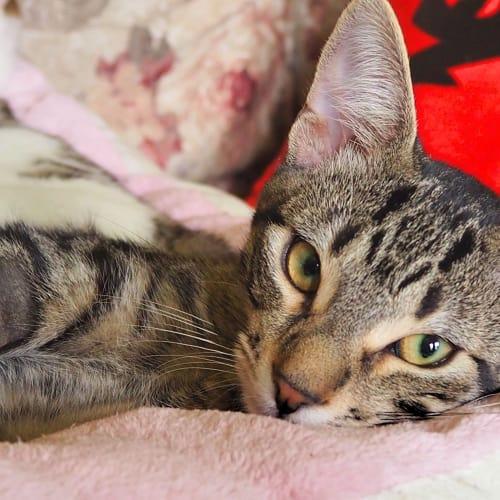 Puck - Domestic Short Hair Cat