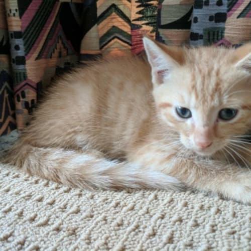 Gin Gin - Domestic Short Hair Cat