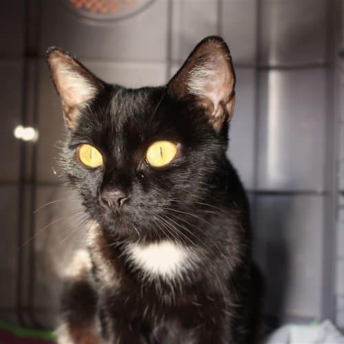 Melania - Domestic Short Hair Cat