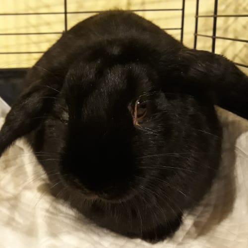 Billy - Mini Lop x Dwarf Lop Rabbit