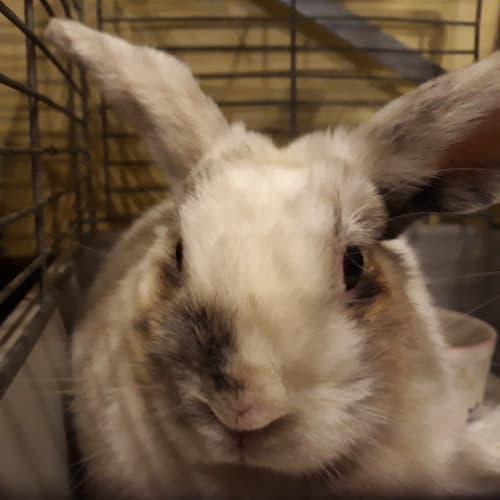 Isa - Mini Lop x Domestic Rabbit