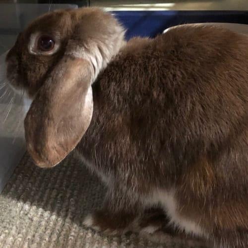 Rocky - Dwarf Lop Rabbit