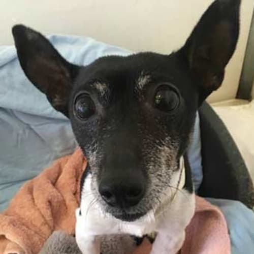 Bruce Harbottle - Jack Russell Terrier Dog