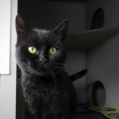Morello - British Shorthair Cat
