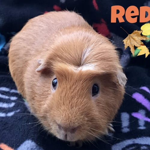 Red - Crested x Smooth Hair Guinea Pig