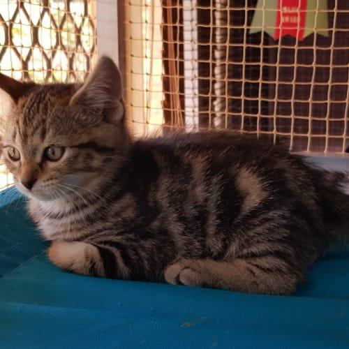 Sascha (Pre-Adoption) - Domestic Short Hair Cat