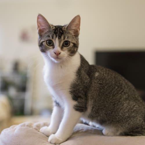 Gracie - Domestic Short Hair Cat