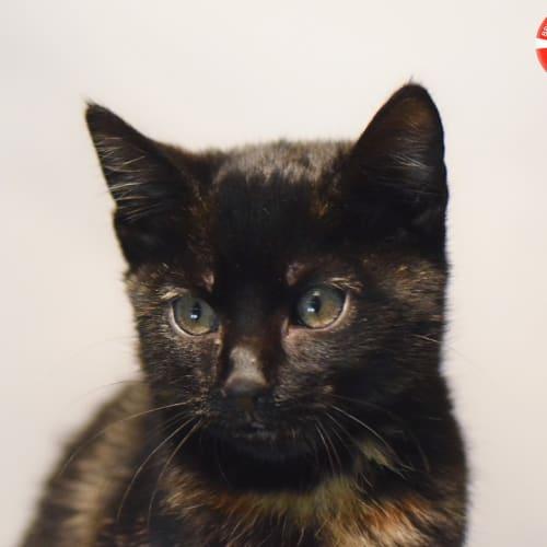 Nicki - Domestic Short Hair Cat