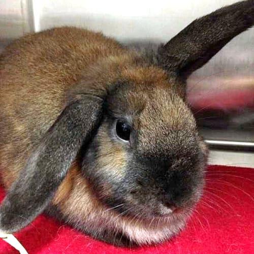 Nina Bonina - Lop Eared Rabbit