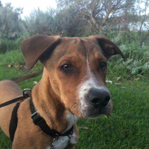 Koopa DL1888 - Kelpie x Staffy Dog
