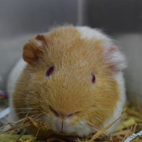Parker 891529 - Smooth Hair Guinea Pig