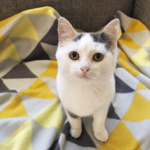 Lemon - Domestic Short Hair Cat