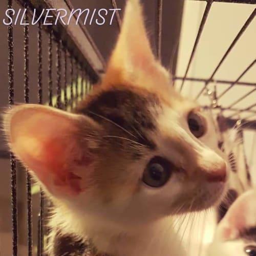 Silvermist - Domestic Short Hair Cat