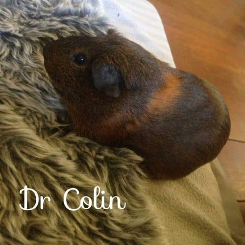 Dr. Colin -  Guinea Pig