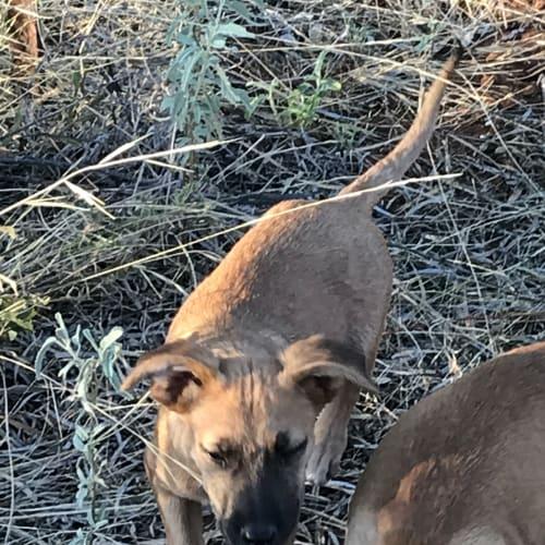 Sumac - Mixed Breed Dog