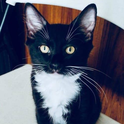 Miles - Kitten from Pandora - Dumped in a Box - Domestic Short Hair Cat