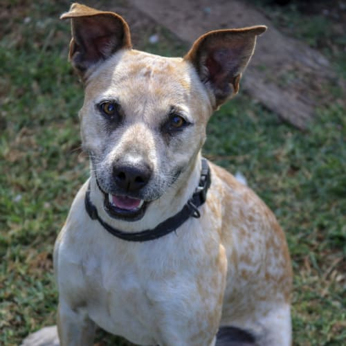 Roxy - Australian Cattle Dog