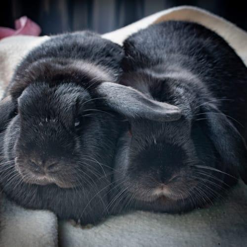Poppi - Lop Eared Rabbit