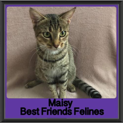 Maisy - Domestic Short Hair Cat