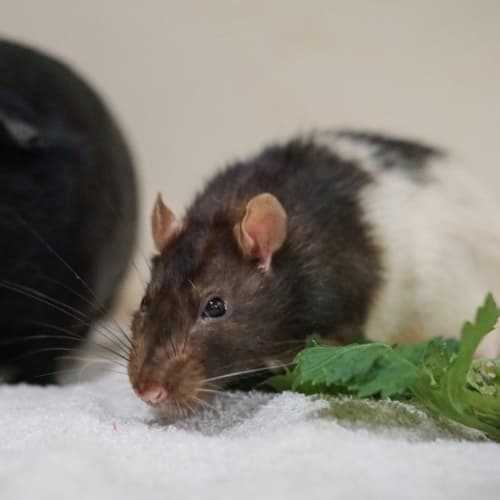 Remy R049 - Adoption Pending -  Rodent