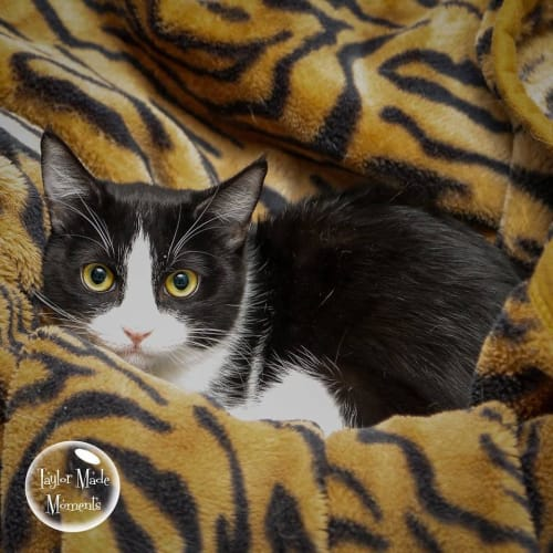 AK1964 - Cleo - Domestic Short Hair Cat
