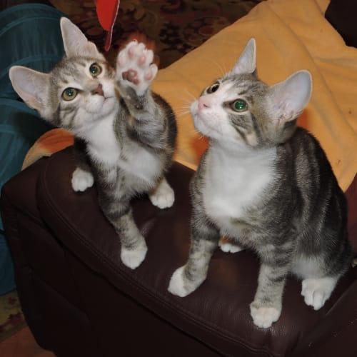 Mickey & Charlie @Petstock Marsden Park - Domestic Short Hair Cat