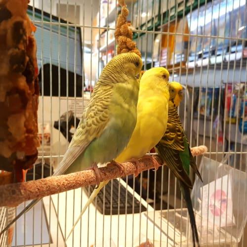 Adult Budgies -  Bird