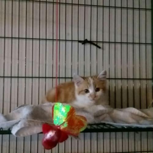 Bobby @ Petstock Penrith - Domestic Short Hair Cat