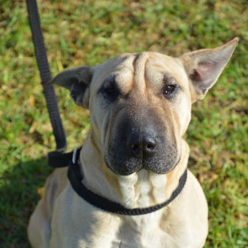 Shar Pei Mix Girl - Shar Pei Dog