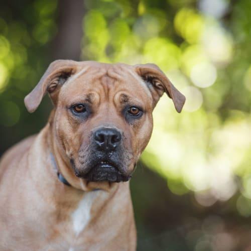 Munah ** I'm just $100! ** - Mastiff Dog