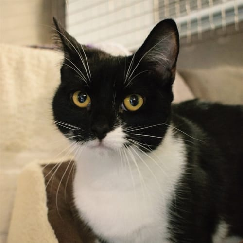 Lentil - Domestic Short Hair Cat
