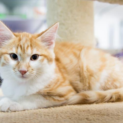 Ruffin - Domestic Medium Hair Cat