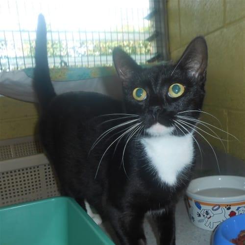 Gwen - Domestic Short Hair Cat