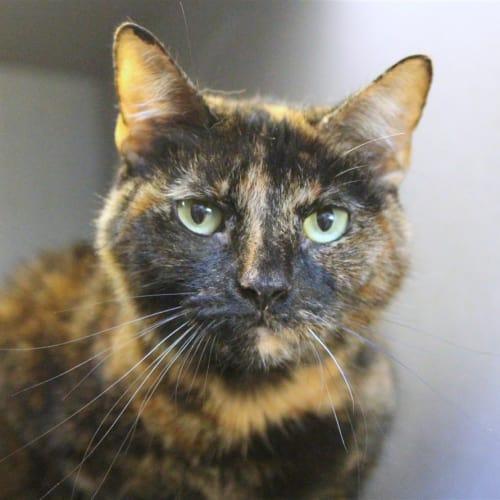 Molly (momo) - Domestic Short Hair Cat