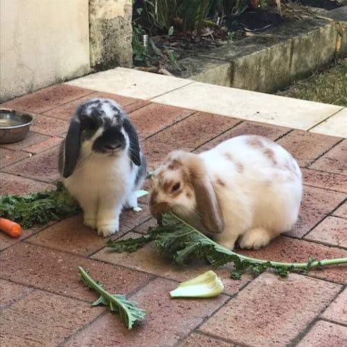 Carmel & Snowy - Lop Eared Rabbit