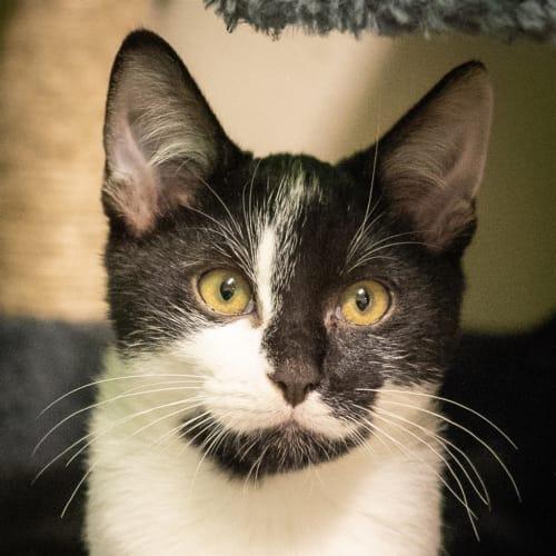 Damo - Domestic Medium Hair Cat