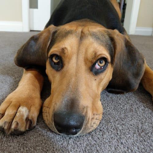 Marley - Foxhound, American Dog