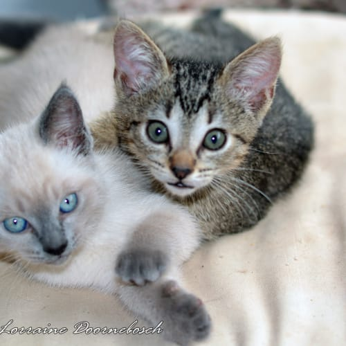 OhMy and Peyton - Domestic Short Hair Cat