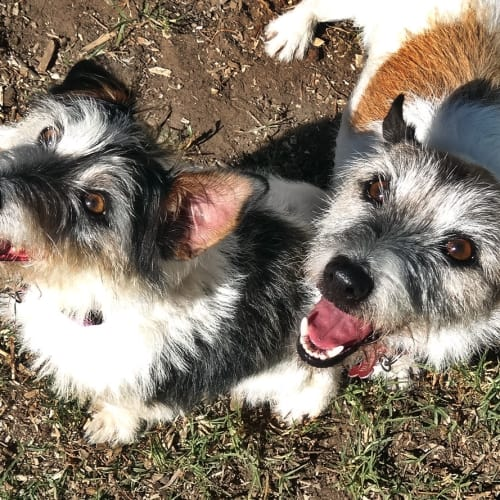 Jack & Patchy - Jack Russell Terrier Dog