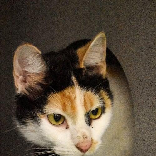 Mave - Domestic Medium Hair Cat