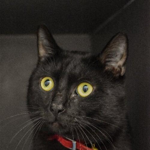 Hector - Domestic Short Hair Cat