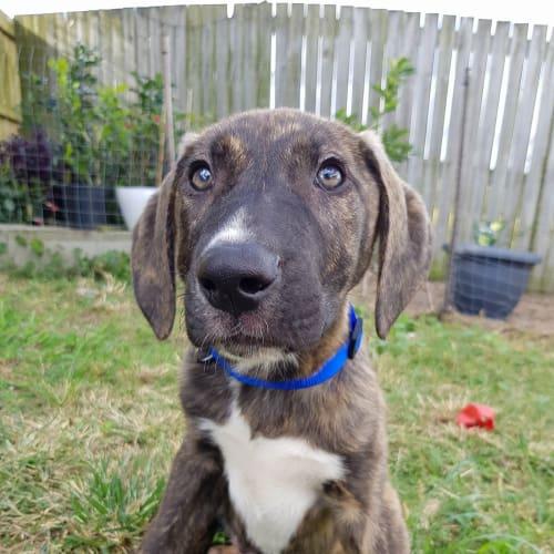 Ernest - Mastiff Dog